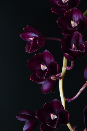 burgundy red orchid on dark black background Fredklarkeara After Dark Stok Fotoğraf