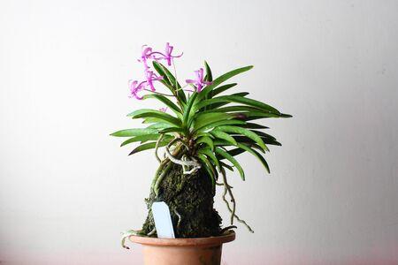 purple pink orchid, light background Фото со стока