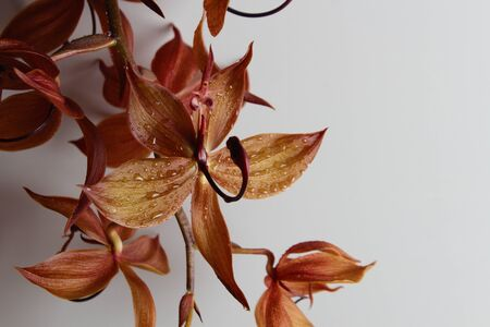orange orchid on a gray background drops beautifully
