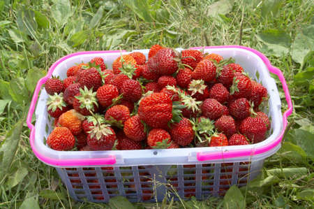 pottle full of fresh and juicy strawberry photo