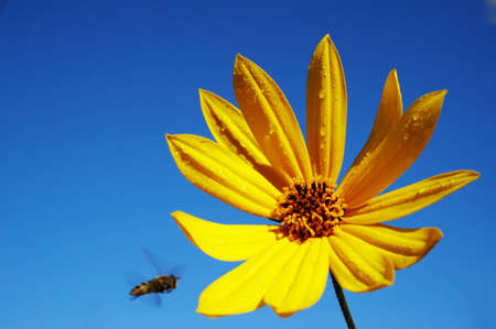 big yellow flower with blue sky on the background. There is a bee flying in direction of the flower. Motion of the bee is visible. photo