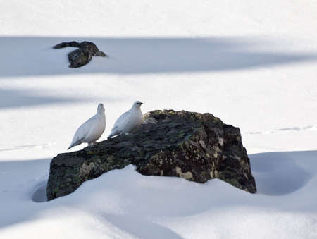 somewhere: Photo of wild ptarmigans somewhere in Sayan Mountains