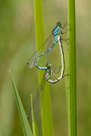 photo of two dragonflies making sex near water photo