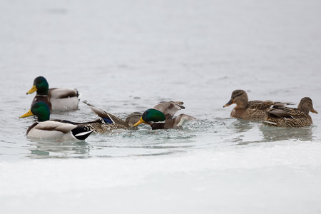 beguin: photo of two ducks fighting - it is a part of flirtation Stock Photo