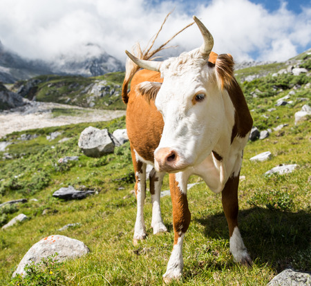 beautiful cow: photo of beautiful cow grazing at alpine meadows