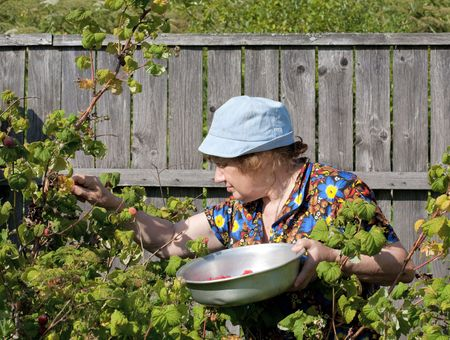 old woman collects berries of a raspberry