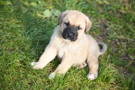 Puppy of the Spanish mastiff on a green grass photo