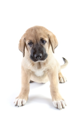 Puppy of the Spanish mastiff isolated on a white background photo