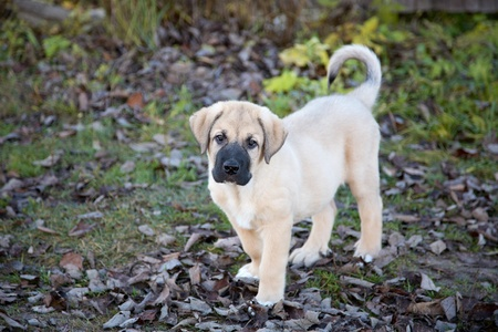 Puppy of the Spanish mastiff in square  the autumn afternoon photo