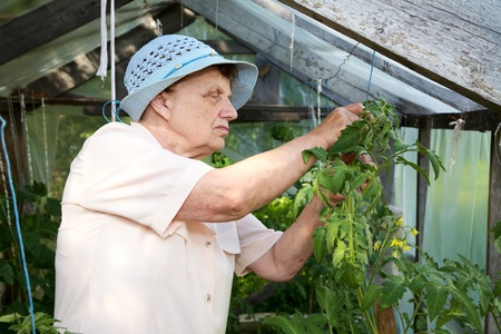 octogenarian: The old woman in a hothouse at bushes of tomatoes Stock Photo