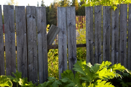 Old wooden fence with a hole in thickets photo
