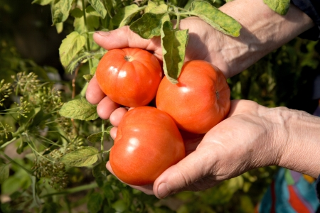 Red tomatoes in hands of the old woman against greens Stock Photo