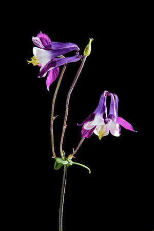 Violet flower Aquilegia isolated on a black background