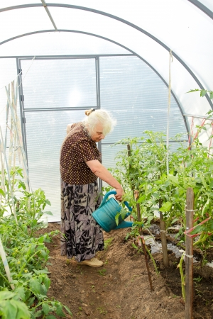 The old woman in a hothouse waters tomatoes photo