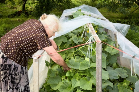 eighty: The old woman in a hothouse at bushes of Cucumbers Stock Photo