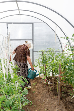 horticulturist: The old woman in a hothouse at bushes of tomatoes Stock Photo