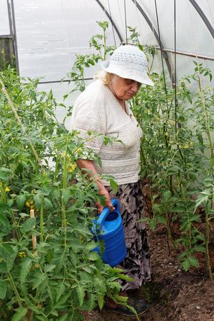 octogenarian: Grandma is watering tomatoes Stock Photo