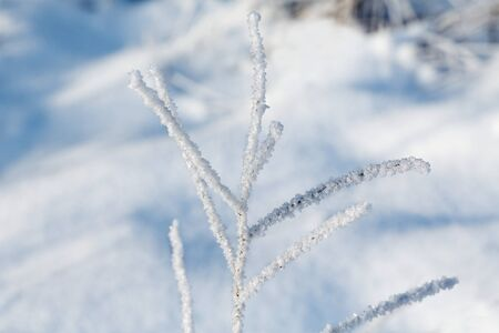 snowscene: branch of the plant in the frost on the background of the snow drifts