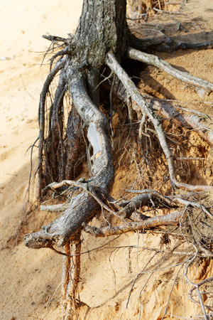 the roots of pine trees on a sandy cliff Stock Photo