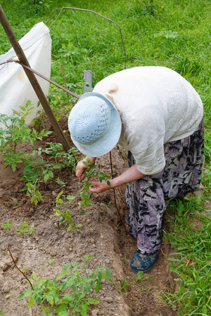 submersion: grandmother cultivated tomatoes in the garden