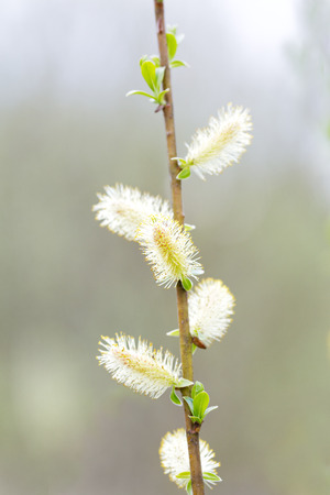 catkins: Catkins of sallows are blossom. Stock Photo
