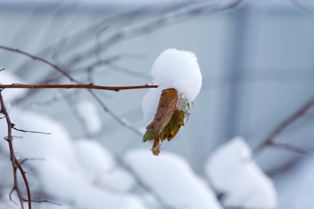 dormant: dry leaf covered with snow in the winter Stock Photo