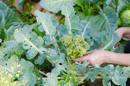 Female hands cut broccoli in the garden