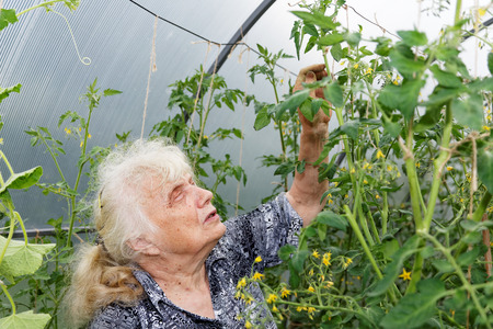 hothouse: The old woman in a hothouse at bushes of Tomatoes