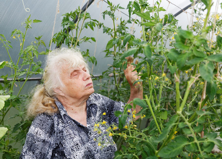 considers: gray-haired grandmother considers bush tomatoes in a greenhouse Stock Photo
