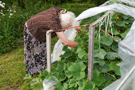 hothouse: The old woman in a hothouse at bushes of Cucumbers Stock Photo