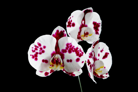 red and white orchid on a black background Stock Photo