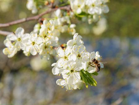 hon: Bee on a flowering tree branch in spring