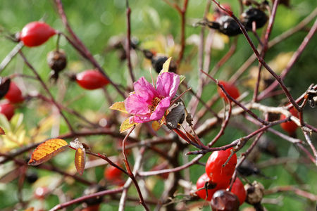 Flower and rose hips on autumn day