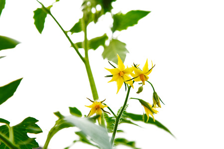 Yellow blossoms of tomatoes isolated  white background Stok Fotoğraf - 84909666