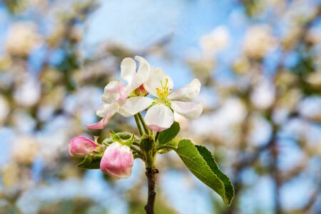 apple blossom close-up spring day against the blue sky