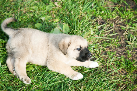 Puppy of the Spanish mastiff on a green grass Stockfoto