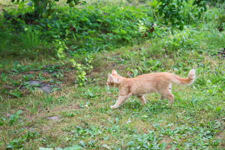 red kitten hunting in the garden on a summer day