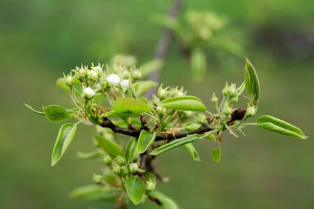 leaves and buds of pear flowers on a spring afternoon 写真素材 - 132386221
