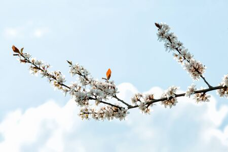 flowering cherry branch against a blue sky 写真素材 - 132392823