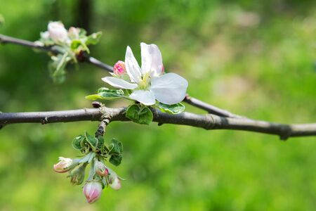 apple flowers on grass background on a sunny spring day 写真素材 - 132392826