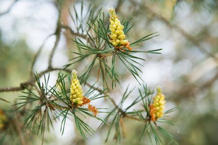 young pine cones on a tree in the spring afternoon 写真素材 - 132392827