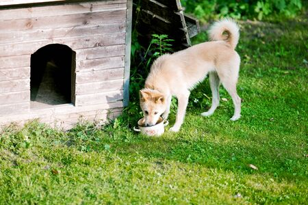 red-haired dog drinks water from a bowl near his kennel 写真素材 - 132070687