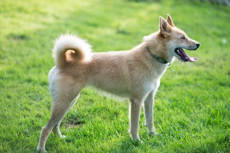 ginger dog stands outstretched tongue on a background of green grass 写真素材 - 132435264