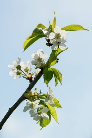 flowers on a cherry tree on a background of blue sky in spring
