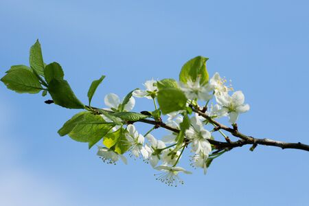 flowers on a plum tree on a background of blue sky in spring 写真素材