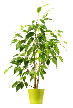 Ficus in flowerpot isolated on white background