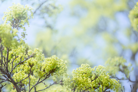 Flowering maple Фото со стока