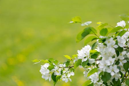 white spring flowers Фото со стока