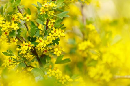 Yellow flowers barberry