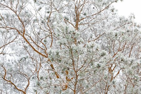 Frost on pine branches